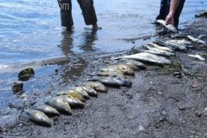 Pomor ribe u jezeru Modrac iz septembra 2011. godine