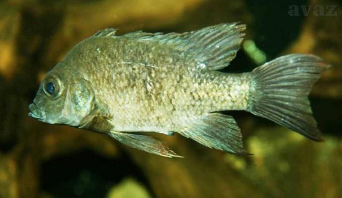 female-mangarahara-cichlid-620x446