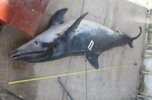 ubijeni-delfin-2010