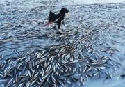 zaledjene-ribe