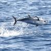 mediteranska-plavorepa-tuna