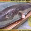Riba fugu