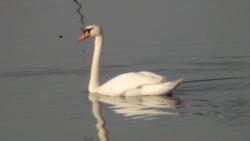 labudovi-mosorovac