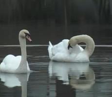 labudovi-na-gomjenickom jezeru-teslic