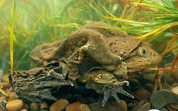 titicacafrog