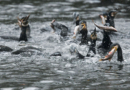Reakcija ministarstva: Veliki vranac ili kormoran nije strogo zaštićena vrsta, a odstrjela je bilo i prošlih desetljeća